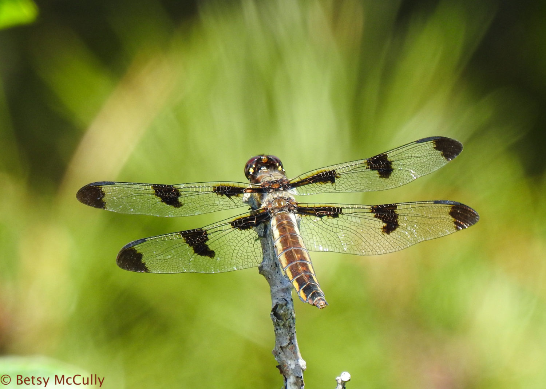 photo of twelve-spotted skimmer female