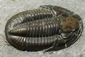 photo of trilobite Basidechenella