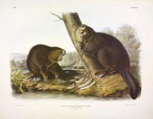 Audubon print of American Beaver