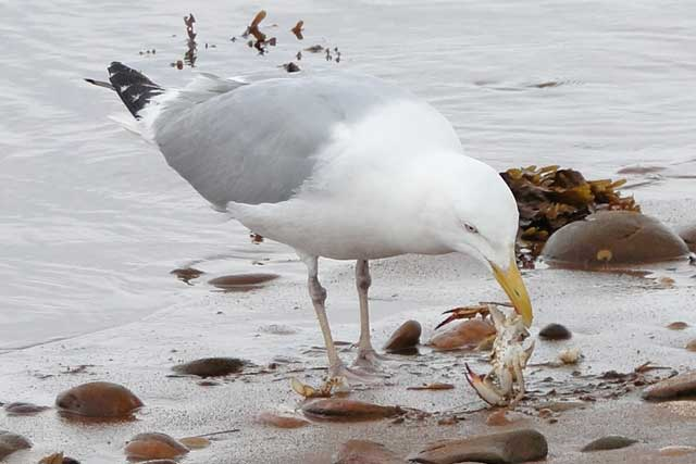 photo of Herring Gull