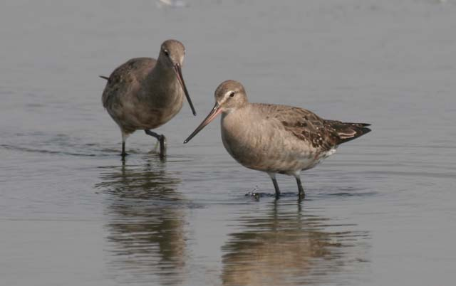 Photo of migrant Hudsonian Godwit.