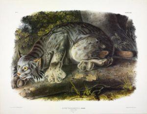 Audubon print of Lynx, 1847