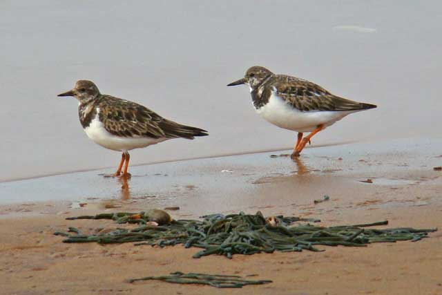 photo of Ruddy Turnstones, non-breeding plumage