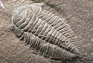 photo of Ordovician fossil trilobite Triarthrus