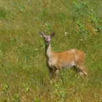 Photo of white-tailed deer