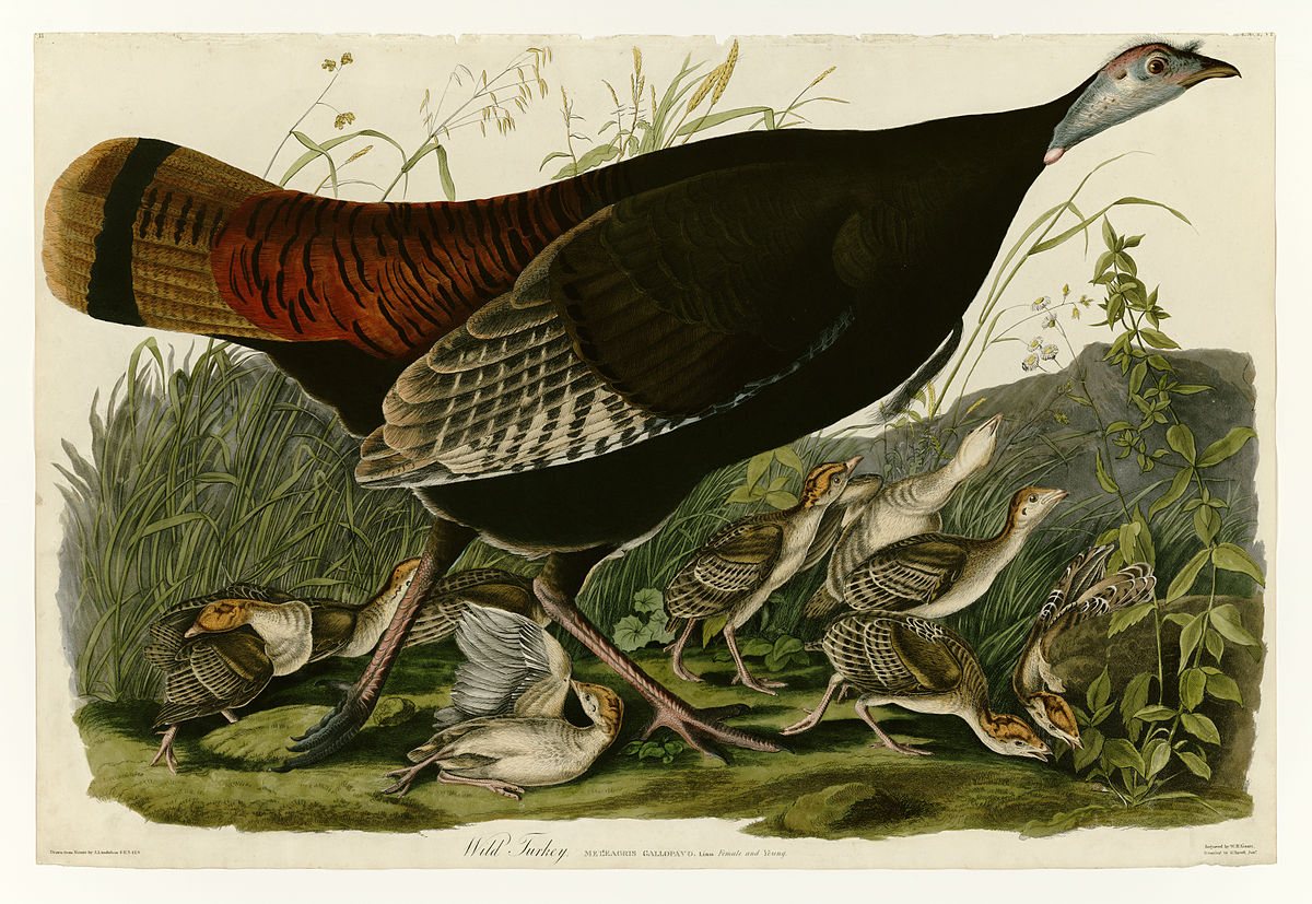 Painting of Wild Turkey female and poults by John James Audubon, 1827-1838