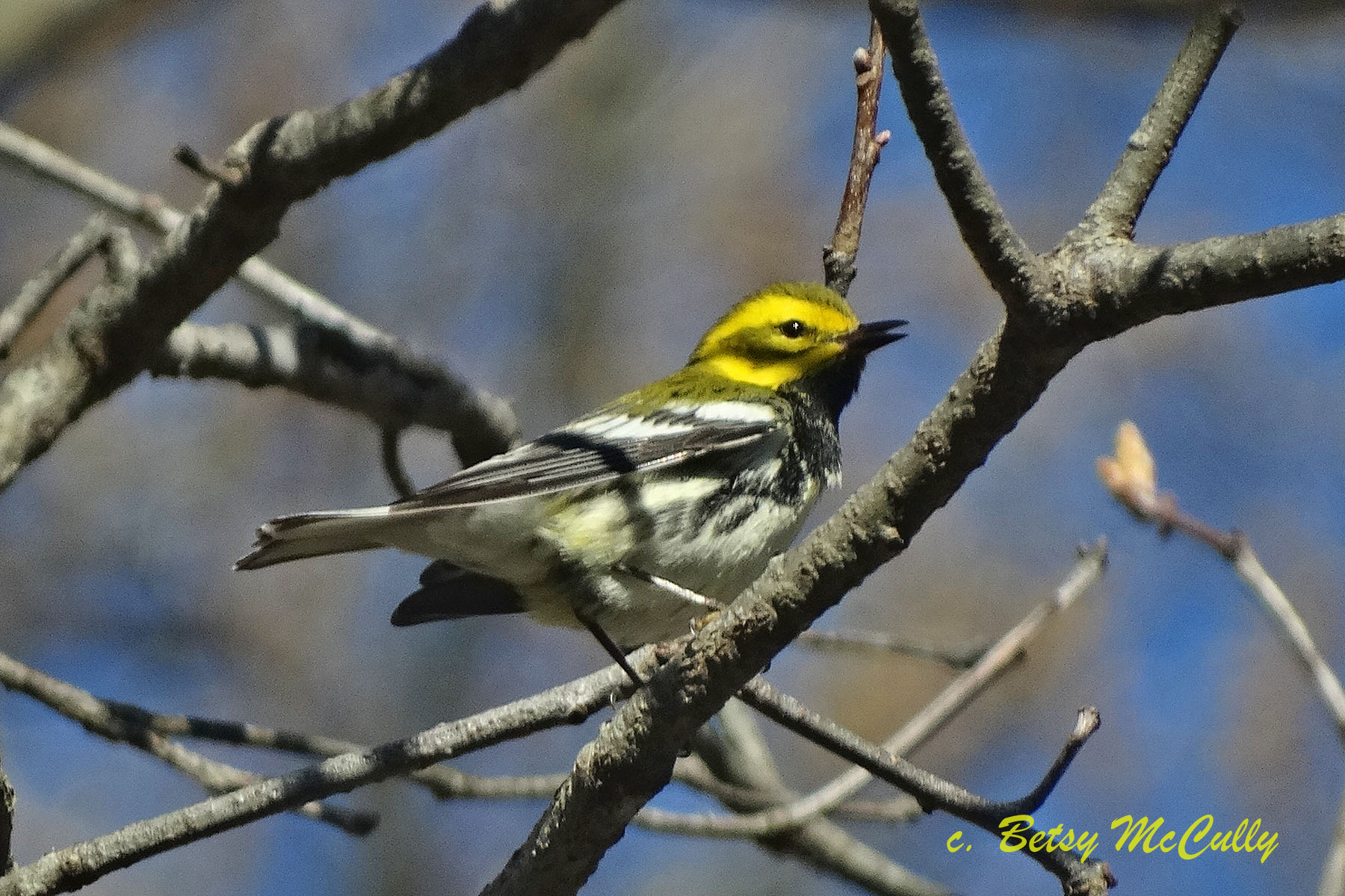 photo of black-throated green warbler, spring migration, Long Island