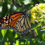 Photo of Monarch butterfly in goldenrod