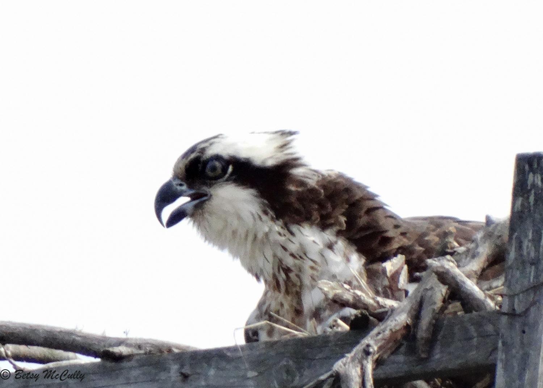 Photo of female osprey on nest