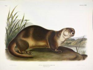 Audubon print of Otter