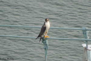 Photo of Peregrine Falcon on th Throg's Neck Bridge