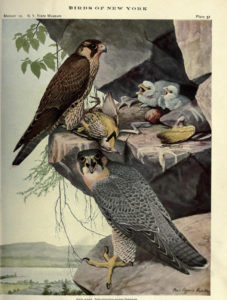Painting of Peregrine Falcon by Louis Agassiz Fuertes, 1910.