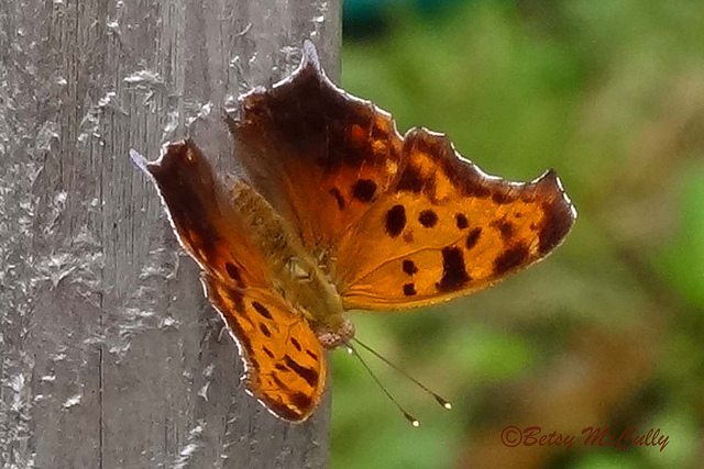 photo of question mark butterfly