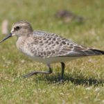 photo of Baird's Sandpiper