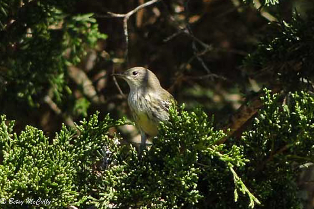 photo of Cape May Warbler in fall