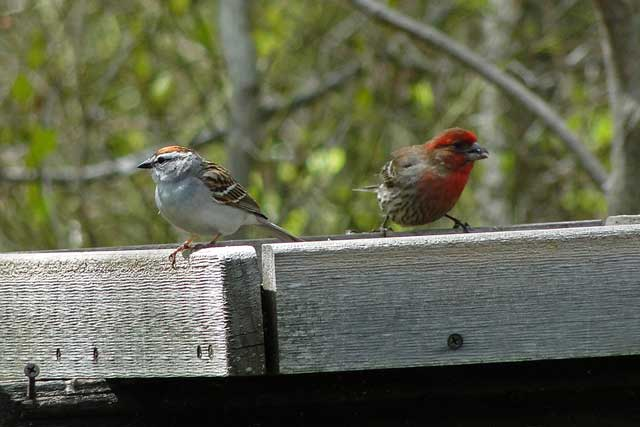 photo of House Finch and Chipping Sparrow at feeder