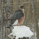 photo of Cooper's Hawk adult male