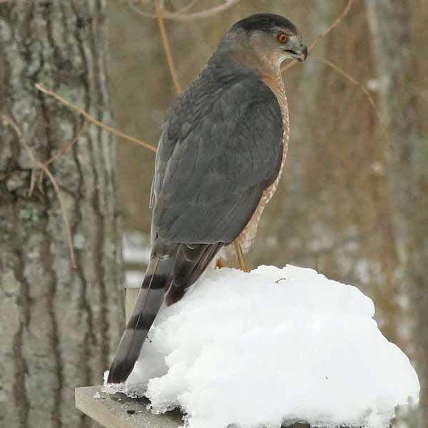 photo of Cooper's Hawk