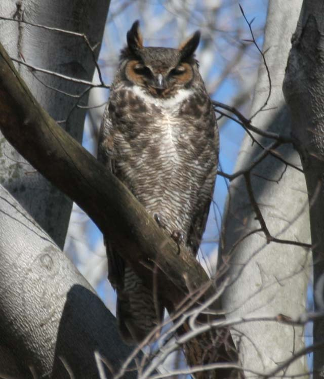 photo of Great Horned Owl.