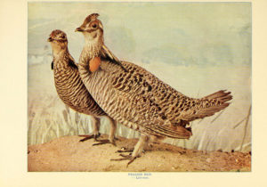 illustration of Prairie Chicken, 1898
