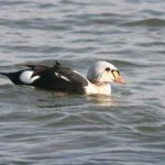photo of King Eider