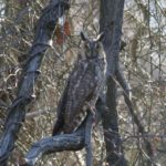 photo of Long-eared Owl
