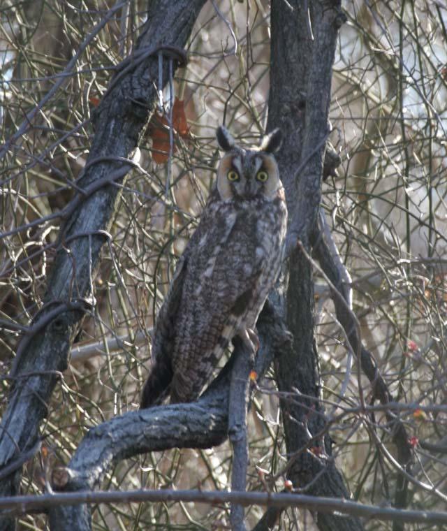 photo of Long-eared Owl