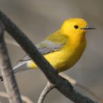 Photo of Prothonatary Warbler