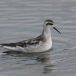 Photo of Red-necked Phalarope