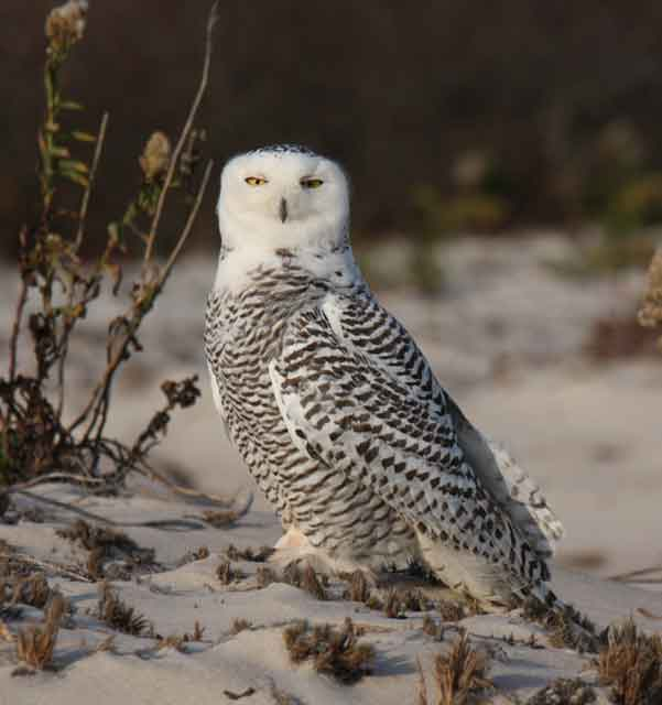 photo of immature Snowy Owl