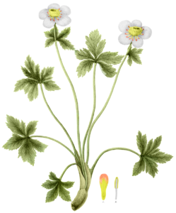 illustration of Globeflower by John Torrey, Flora of the State of New York, 1843