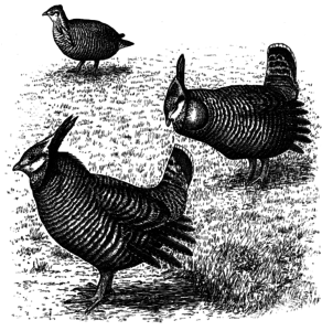 Illustration of Heath Hen
