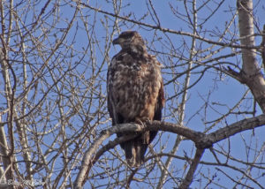 photo of immature Bald Eagle