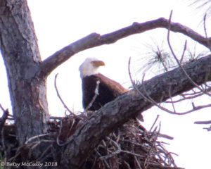 photo of adult bald eagle on nest
