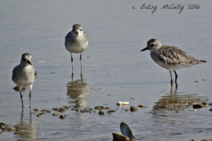 photo of Black-bellied plovers, winter