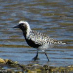 Photo of Black-bellied Plover breeding male plumage
