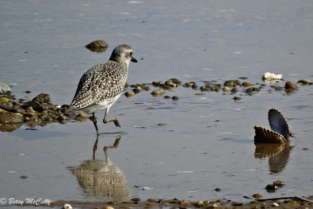 photo of black-bellied plover in winter