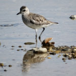 Photo of Black-bellied Plover, non-breeding plumage