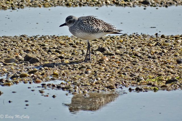 photo of black-bellied plover, winter plumage