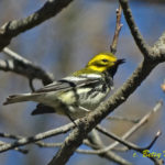 photo of male Black-throated Green Warbler in breeding plumage
