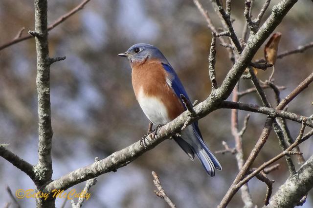Photo of Bluebird adult male.