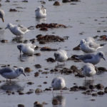 photo of Bonaparte's Gulls feeding with Herring Gulls
