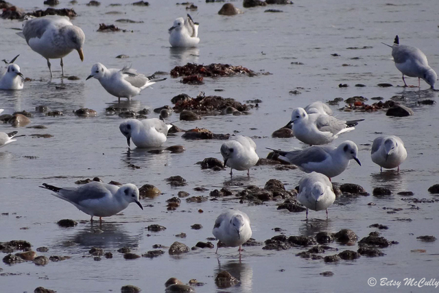 photo of Bonaparte's Gulls feeding with Herring Gull, Long Island