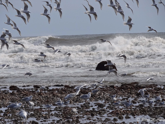Photo of Bonaparte's Gulls, winter