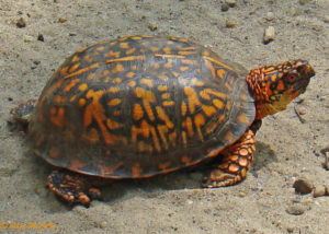 photo of Box Turtle