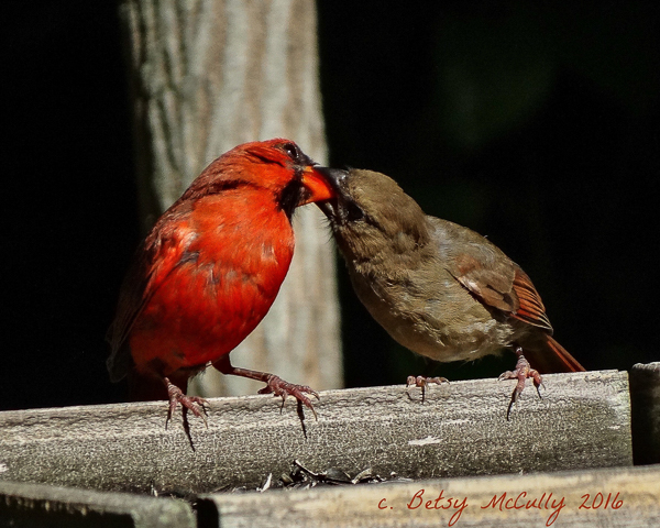 photo of male cardinal feeding juvenile