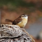 photo of Carolina Wren