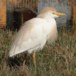 Photo of Cattle Egret in breeding plumage
