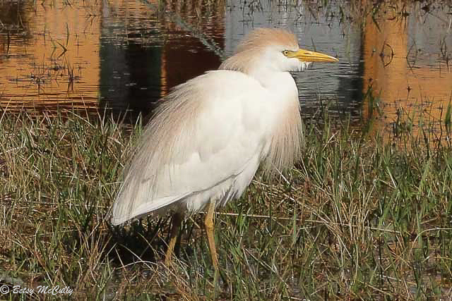 Photo of Cattle Egret breeding plumage