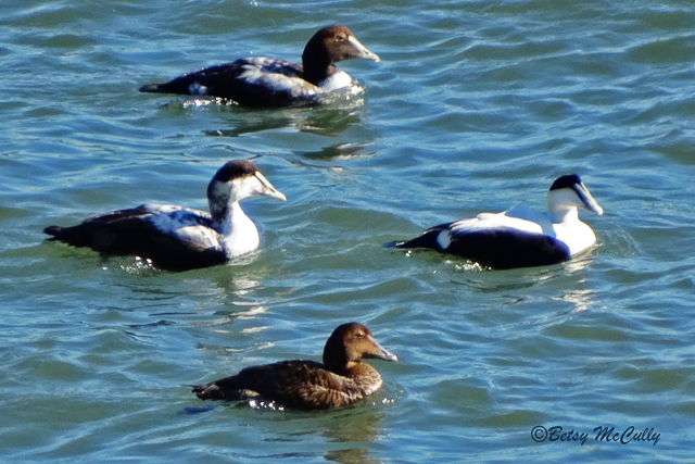 photo of male and female common eiders